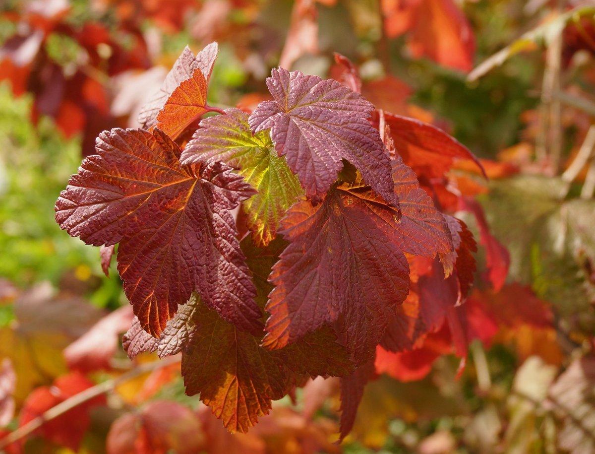 Посадка смородины осенью